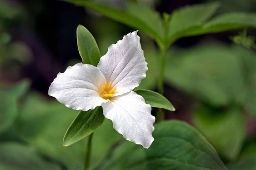 Trillium grows wild in the forests of North Georgia